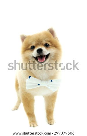 pomeranian spitz isolated on white background - stock photo