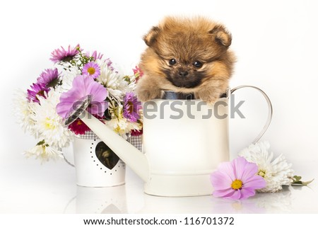 Pomeranian Spitz puppy and flowers on white background - stock photo