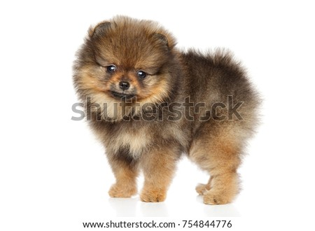 Pomeranian Spitz puppy in stand on white background
