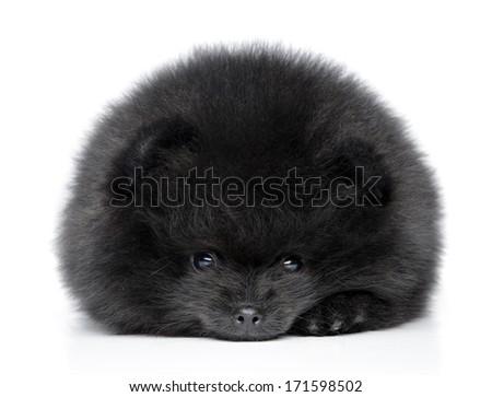 Pomeranian spitz puppy resting on a white background - stock photo