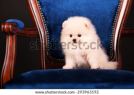 Pomeranian Spitz puppy sitting on a chair on a black background - stock photo