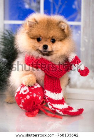 Miniature Pomeranian Spitz Puppy Stock Images, Royalty ...