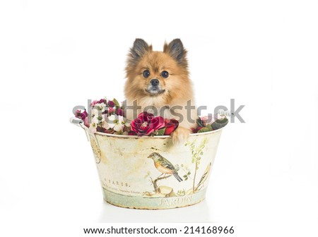 Pomeranian standing inside a decorated metal bucket on a white background - stock photo