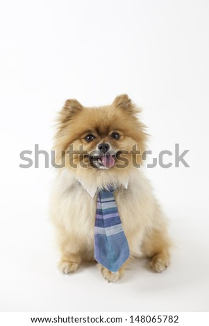 Pomeranian wearing a neck tie - stock photo