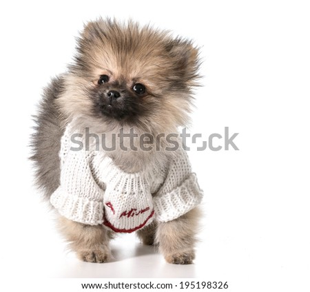pomeranian wearing valentines day sweater