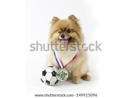 Pomeranian winning number 1 in soccer - stock photo