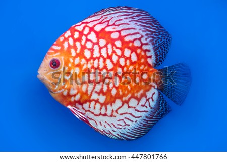 pompadour or symphysodon fish on blue background - stock photo