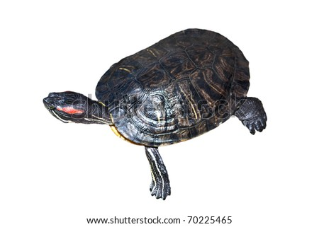 Pond terrapin close-up on a white background - stock photo