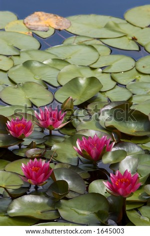 Pond with water lilies - stock photo