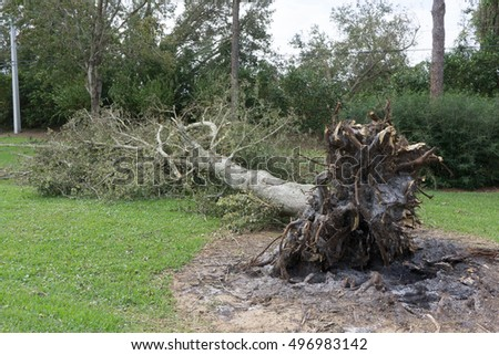 PONTE VEDRA BEACH, FLORIDA, USA - OCTOBER 11, 2016: A fallen tree after Hurricane Matthew blew along the east coast of Florida on October 7, 2016.