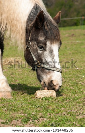 Pony enjoying hay that has been condensed into a block to prolong feeding time & avoid boredom - stock photo