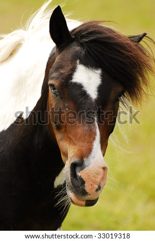 pony horse - stock photo