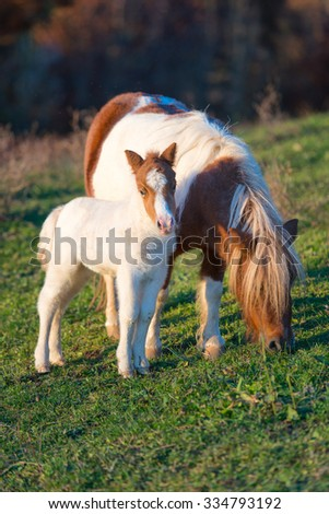 Pony horses mother with little in the meadow - stock photo