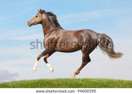 pony in field galloping - stock photo