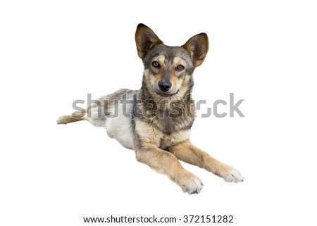 pooch lies and stares ahead with their eyes - stock photo