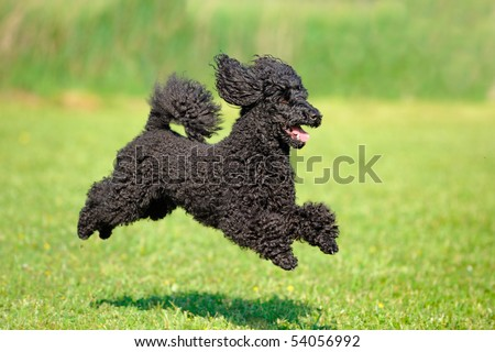 poodle black jumping motion 	 - stock photo