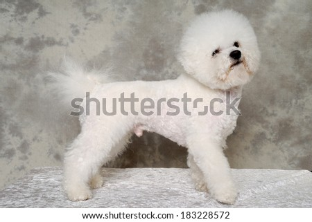Poodle dog is standing i profile