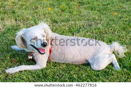 Poodle dog laying in grass in the park with a happy and smile face, notice: shallow depth of field