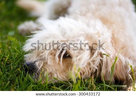 poodle metis dog - stock photo