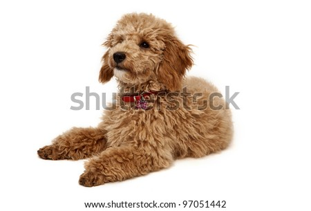 Poodle on White Background