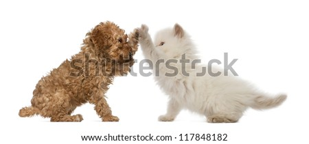 Poodle Puppy and British Longhair Kitten high fiving against white background - stock photo