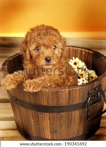 Poodle puppy in decorated studio - stock photo