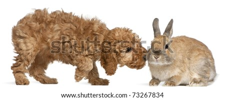 Poodle puppy, 2 months old, sniffing rabbit in front of white background - stock photo