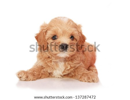 Poodle Puppy on white background