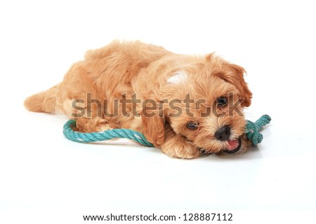 Poodle Puppy playing on white background