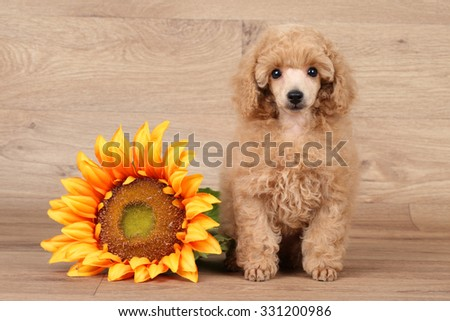 Poodle puppy with sunflower sits on wooden background - stock photo