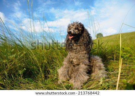poodle resting in tall green grass - stock photo