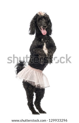 Poodle, 5 years old, standing, dancing, wearing a pink tutu and panting in front of white background - stock photo
