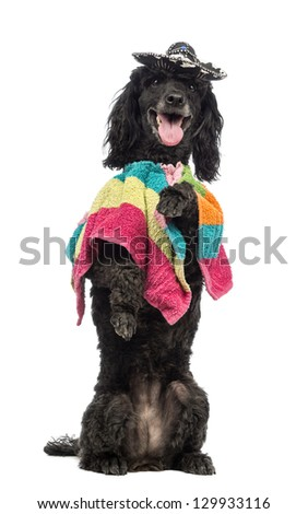Poodle, 5 years old, standing on hind legs, wearing a poncho and a sombrero and panting in front of white background - stock photo
