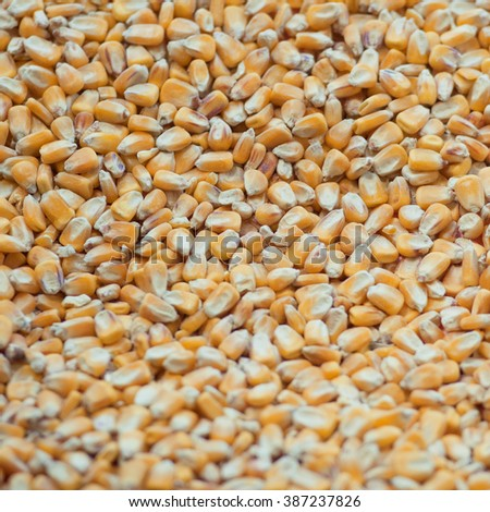 Pop corn grain - stock photo