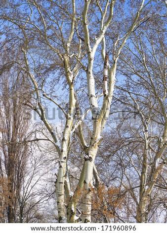 Poplar forest in winter - stock photo