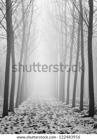 poplar trees photographed in a winter day with fog