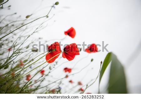 poppies - stock photo