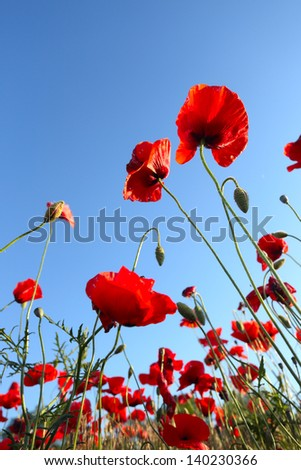 poppies  against sky at background