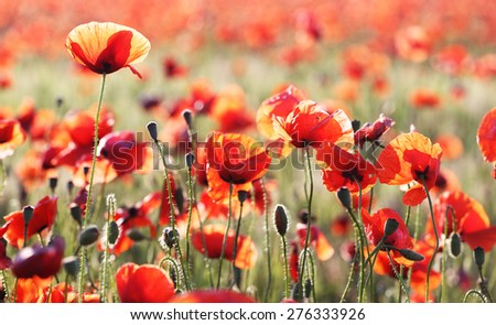 poppies  against sky at background,  Provence  - stock photo