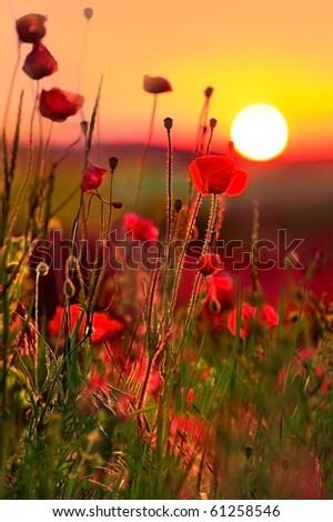 poppies at sunset - stock photo