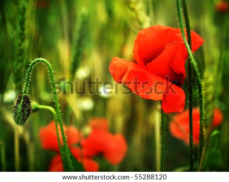 Poppies close up - stock photo
