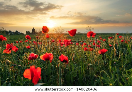 Poppies field flower on sunset - stock photo