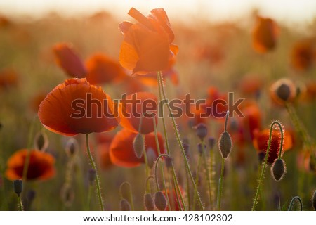 Poppies field-flowers