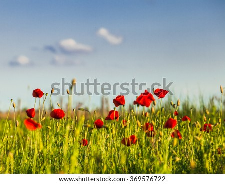 Poppies field over blue sky with clouds - stock photo