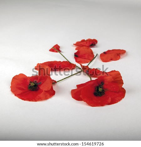 Poppies - for Remembrance Day - Isolated on White - stock photo