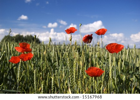 Poppies in A Field - stock photo