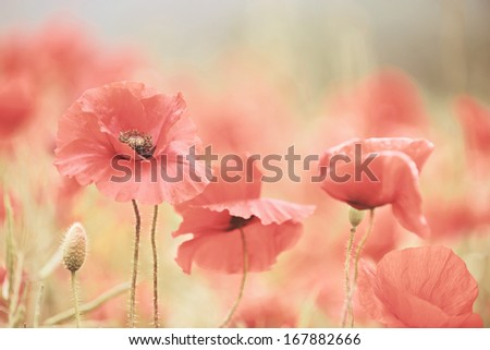 Poppies in a meadow. - stock photo