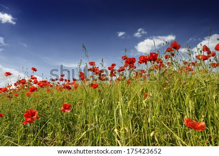 Poppies in barley field with trees in background near Metzing, Moselle, Lorraine, France, Europe - stock photo