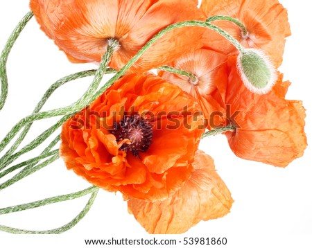 poppies in detail