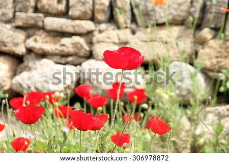 Poppies in Fortification of Capdepera castle, Mallorca, Spain - stock photo